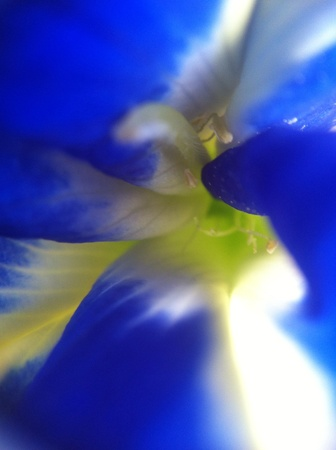 closeup: Butterfly pea close up