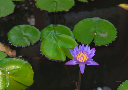 hydrophyte: lotus
