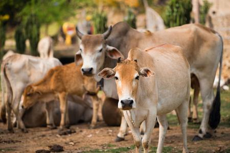 terrestrial mammal: Cow Family Stock Photo