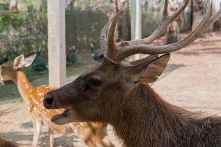 deer stand: Male deer stand, Beautiful antler on the farm