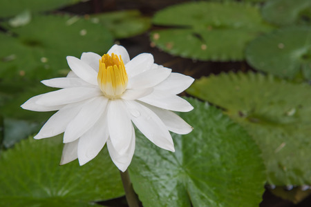 hydrophyte: The beautiful white lotus in a pond. close-up  , background