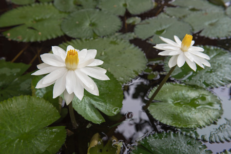 hydrophyte: Two beautiful white lotus in a pond. close-up  , background