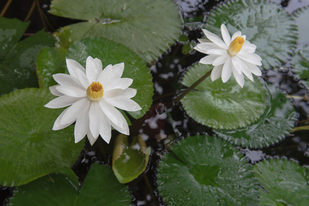 doublet: Two beautiful white lotus in a pond. close-up  , background