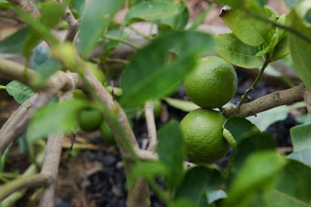 admixture: green fresh Lemon on the tree, agriculture plant