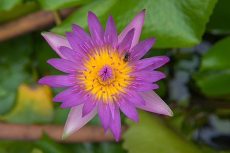 hydrophyte: Beautiful purple lotus and bee pond in the park. Stock Photo