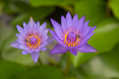 Beautiful purple lotus pond in the park.