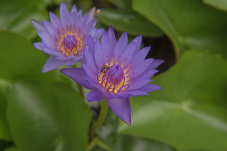 hydrophyte: Beautiful purple lotus pond in the park.
