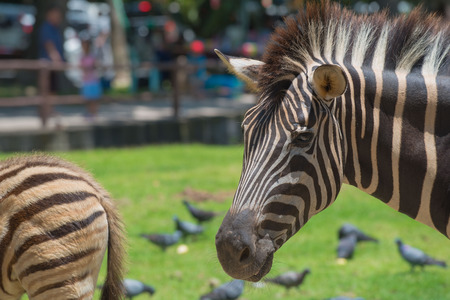 White and black animal zebras in the zoo Stock Photo