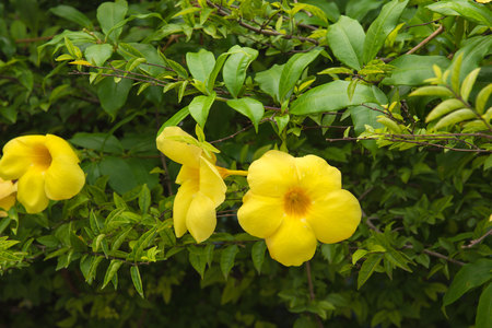 fresh Yellow flowers blooming  on bush tree in the garden.