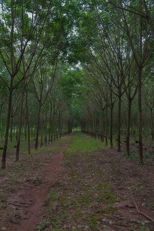 deepness: Green Row of Para rubber tree garden in  Thailand