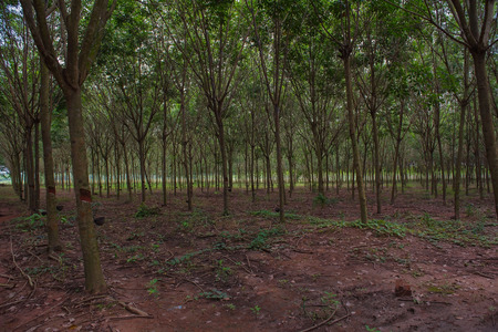 deepness: Green Row of Para rubber tree garden in  Thailand
