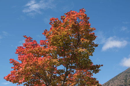 Red Japanese maple leaf on tree and blue sky background