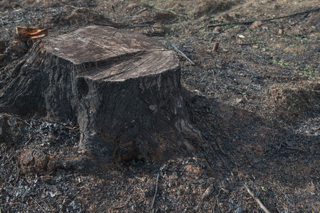 deforestacion: old Tree Stumps caused by deforestation  and burn.