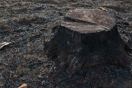deforestacion: edad tocones de árboles causada por la deforestación y la quema.