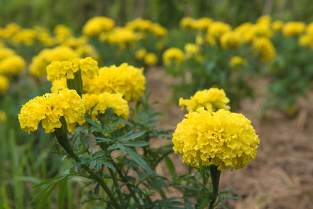 tradional: Beautiful Yellow marigolds plant in the garden.
