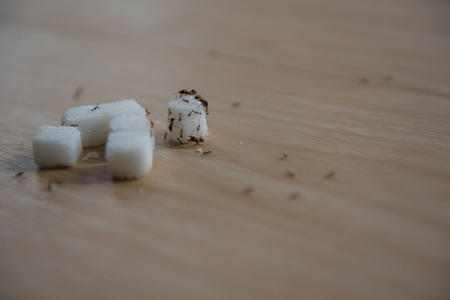 closeup sugar and ant on wooden table . Stock Photo