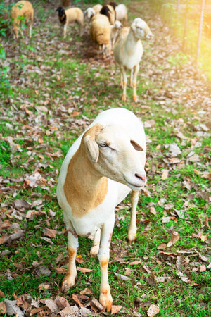 sheep in a traditional farming ,livestock farm , outdoor .