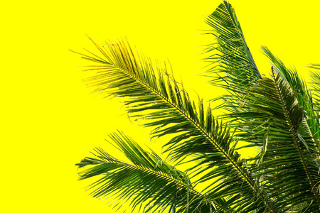 Green leaf of Coconut palm tree on yellow  background . Stock Photo