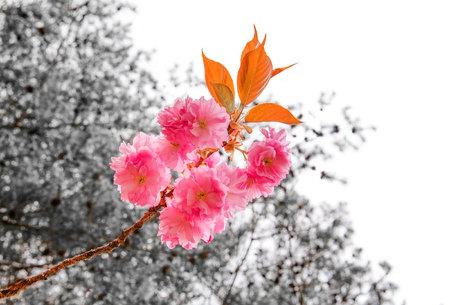 beautiful cherry blossom, sakura flowers in garden .