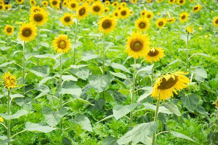 closeup blooming yellow  sunflower , Sunflower field background .