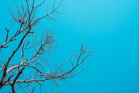 Dead and dry big tree blue sky background .