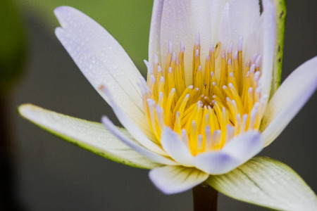 Close Up of yellow Water Lily photo