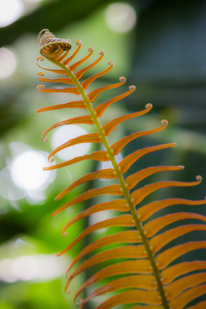 furled: Closeup on a orange leaf of a fern