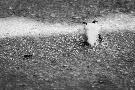 miettes: Les fourmis attaquent les miettes de nourriture