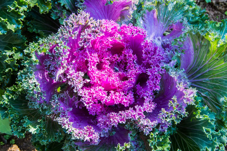 green cabbage: Purple decorative cabbage.