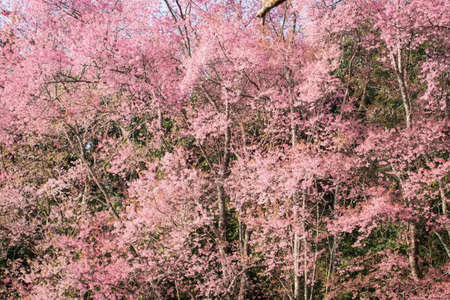flor de sakura: Hermosa flor de cerezo, flor rosa sakura