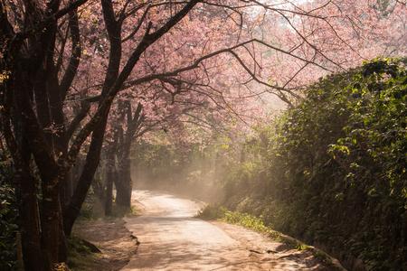 blossom tree: Cherry Blossom and sakura on road Stock Photo