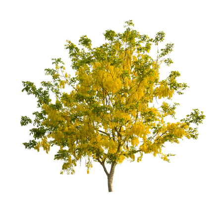 tropical tree: Golden shower tree (Cassia fistula), tropical tree in the northeast of Thailand isolated on white background Foto de archivo