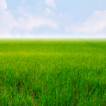 grass: Green rice field and blue sky for background