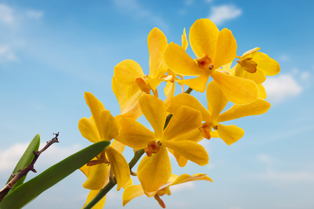 blue orchid: Yellow Orchid Flower isolated on blue sky background