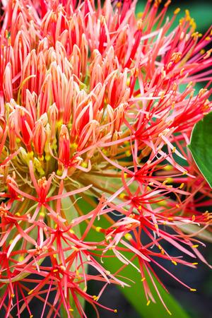 powder puff: Blood flower, Powder puff lily close-up background texture
