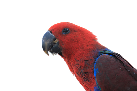 eclectus parrot: Eclectus Parrot head isolated on white background, clipping path
