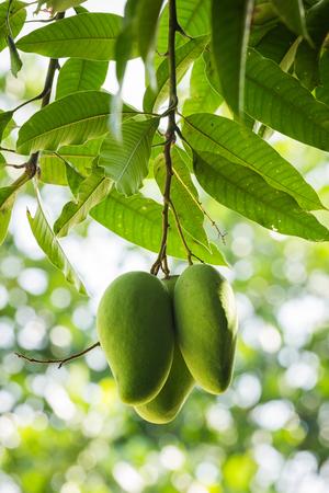 mango tree: Green Mango on the tree in garden