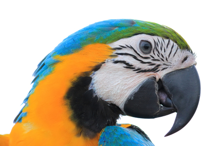 maccaw: Macaw Parrot isolated on white background with clipping path