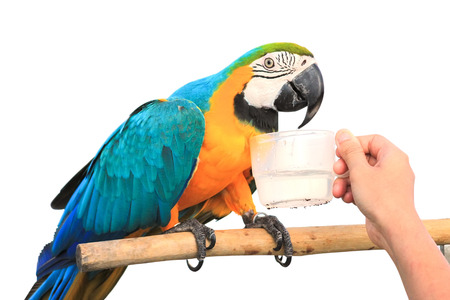 maccaw: drinking water of Macaw Parrot  isolated on white background with clipping path