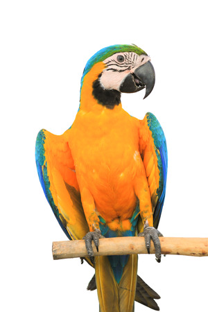 mccaw: Macaw Parrot isolated on white background with clipping path