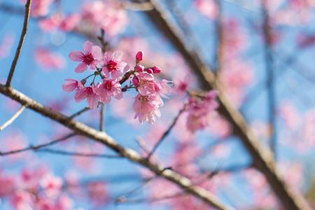 Soft wild Himalayan Cherry flower (Prunus cerasoides),Giant tiger flower in Thailand, selective focus Stock Photo
