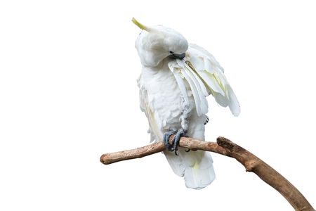 White parrot. Isolated on white background with clipping path.