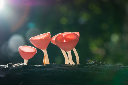 relational: Mushroom, Pink burn cup in forest. Stock Photo