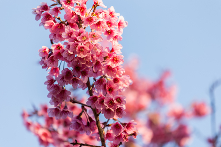 northern light: Close-up of beautiful Cherry blossoms in Chiangmai, northern of Thailand Stock Photo