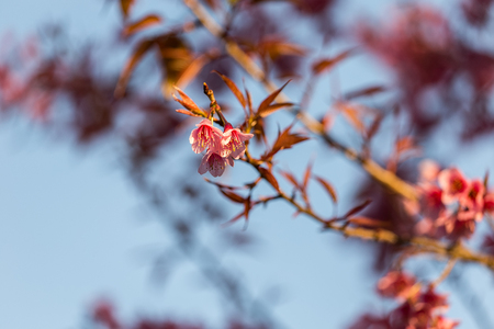Close-up of beautiful Cherry blossoms in Chiangmai, northern of Thailand Stock Photo