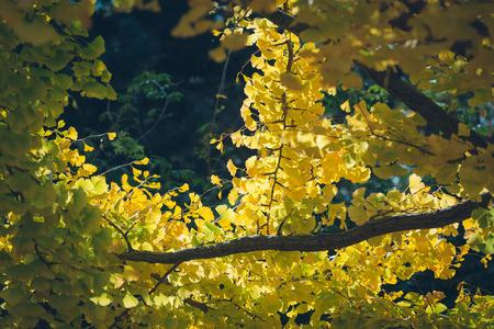 Ginkgo biloba leaves(Autumn leaves) Stock Photo