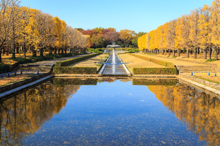 Two rows of ginkgo trees with many autumn yellow leaves falling on the ground. Photo taken in The Showa Memorial Park, Tokyo, Japan.