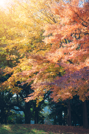 Vibrant Japanese Autumn Maple leaves with blurred background