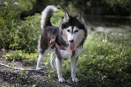 best friend: Siberian Husky Best friend names Alis so cute very much