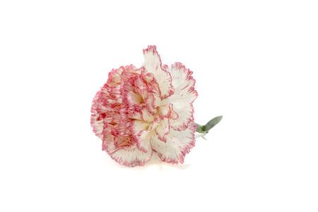 isolation: Carnation on white Background